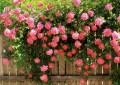 Розовые плетистые розы на деревянном заборе фото