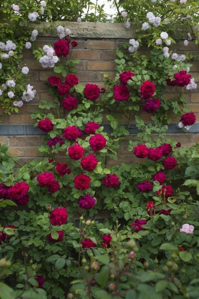 Красные ароматные плетистые розы на заборе фото