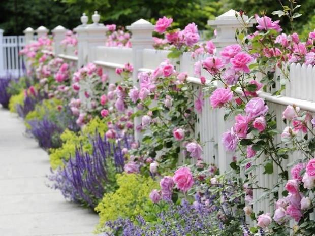 Нежное оформление белого забора вьющимися розами