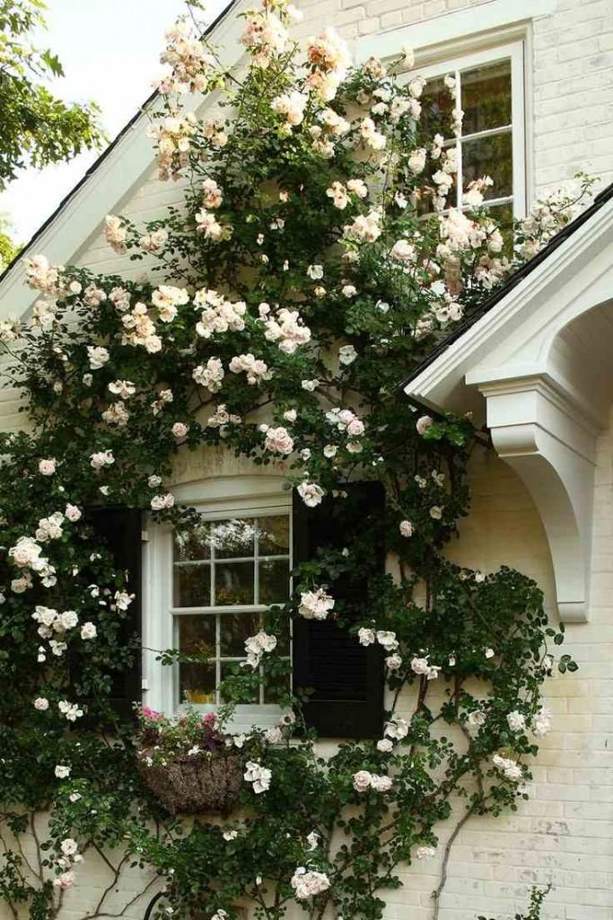 Вьющиеся розы сортов Sally Holmes и New Down