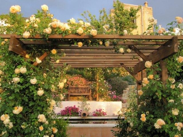Желтые плетистые розы на закате