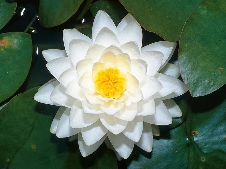 белая  водяная лилия фото