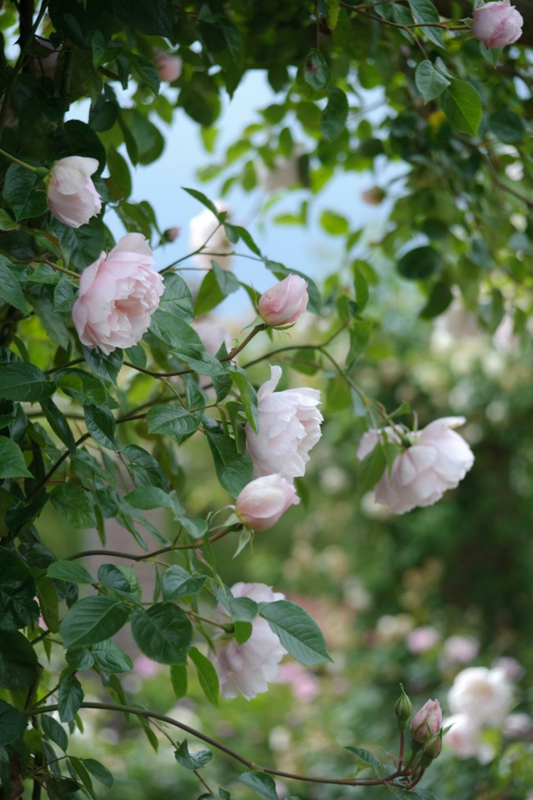 curly roses photo