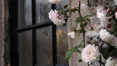 вьющиеся розы фото